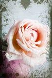Il colore rosa ed il beige sono aumentato Fotografia Stock
