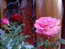 Il colore rosa ed il colore rosso sono aumentato immagini stock libere da diritti