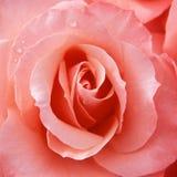 Il colore rosa elegante è aumentato Fotografie Stock Libere da Diritti