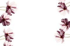 Il colore rosa fiorisce gli ambiti di provenienza Fotografia Stock