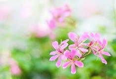 Il colore rosa fiorisce il peltatum del pelargonium Immagini Stock Libere da Diritti