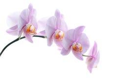Il colore rosa ha macchiato le orchidee isolate su priorità bassa bianca Immagini Stock