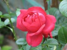 Il colore rosa scuro è aumentato Fotografia Stock Libera da Diritti