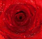 Il colore rosso è aumentato Immagine Stock