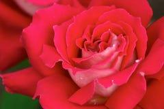 Il colore rosso è aumentato Fotografie Stock Libere da Diritti
