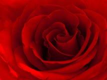 Il colore rosso è aumentato Fotografia Stock Libera da Diritti