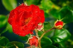 Il colore rosso è aumentato Fotografia Stock