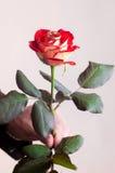 Il colore rosso è aumentato con due anelli di cerimonie nuziali Fotografia Stock