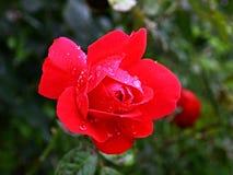 Il colore rosso è aumentato con le gocce Fotografie Stock Libere da Diritti