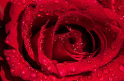 Il colore rosso è aumentato con le gocce fotografia stock libera da diritti