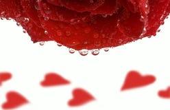 Il colore rosso è aumentato con le gocce & riscalda Immagini Stock Libere da Diritti
