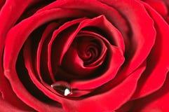 Il colore rosso è aumentato con waterdrop Fotografia Stock