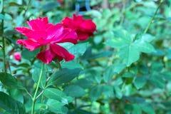 Il colore rosso è aumentato nel giardino Fotografie Stock Libere da Diritti
