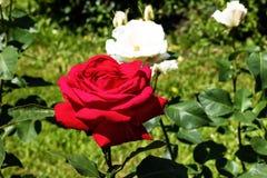 Il colore rosso è aumentato nel giardino Immagini Stock