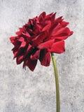 Il colore rosso è aumentato nella priorità bassa astratta Fotografia Stock