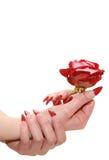 Il colore rosso è aumentato per le mani femminili Immagini Stock Libere da Diritti