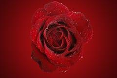 Il colore rosso è aumentato per voi Immagine Stock