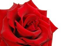 Il colore rosso è aumentato su bianco Immagine Stock
