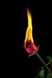 Il colore rosso è aumentato su fuoco Fotografia Stock