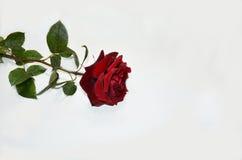 Il colore rosso è aumentato su una priorità bassa bianca Fotografie Stock Libere da Diritti