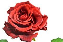 Il colore rosso è aumentato sul bianco Fotografia Stock Libera da Diritti