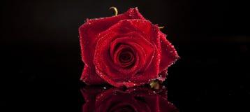 Il colore rosso è aumentato sul nero   Fotografia Stock Libera da Diritti