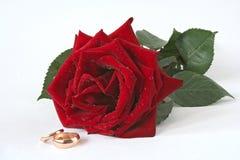 Il colore rosso è aumentato un e due anelli di cerimonia nuziale dorata Fotografia Stock