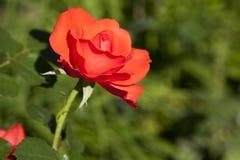 Il colore rosso è aumentato in un giardino Fotografie Stock Libere da Diritti
