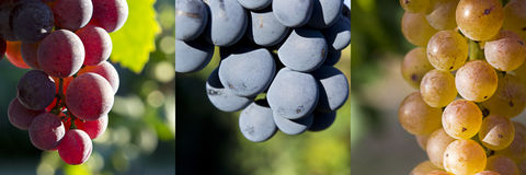 Il colore rosso, annerisce un collage dell'uva bianca Immagine Stock Libera da Diritti