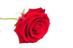 Il colore rosso bello è aumentato Fotografia Stock Libera da Diritti