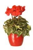 Il colore rosso conservato in vaso del houseplant cyclamen Immagine Stock