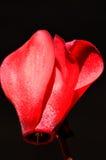 Il colore rosso cyclamen Immagine Stock