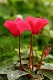 Il colore rosso cyclamen Fotografia Stock