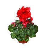 Il colore rosso cyclamen Immagini Stock