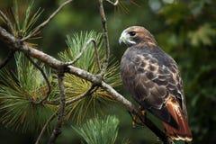 il colore rosso del falco ha munito Immagini Stock