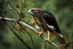 il colore rosso del falco ha munito Fotografia Stock