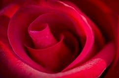 Il colore rosso del primo piano è aumentato Fotografia Stock