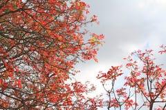 Il colore rosso della sorgente lascia l'India Fotografie Stock Libere da Diritti