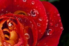 Il colore rosso Dewy è aumentato Fotografia Stock