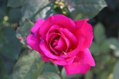 Il colore rosso di fioritura è aumentato Fotografie Stock