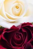Il colore rosso ed il bianco sono aumentato Fotografia Stock