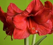 Il colore rosso fiorisce il amaryllis Immagine Stock
