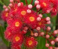 Il colore rosso fiorisce l'eucalyptus dell'albero di gomma fotografie stock libere da diritti