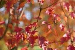 il colore rosso lascia la priorità bassa Fogliame di autunno Immagini Stock