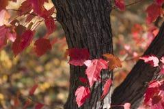 il colore rosso lascia la priorità bassa Fogliame di autunno Immagine Stock Libera da Diritti