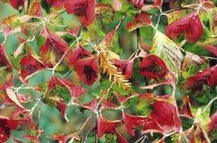 Il colore rosso lascia le strutture Fotografia Stock