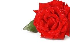 Il colore rosso perfetto è aumentato Fotografia Stock