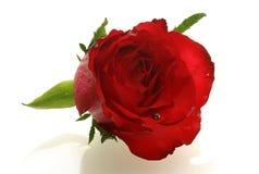Il colore rosso piacevole è aumentato con una piccola coccinella Fotografia Stock