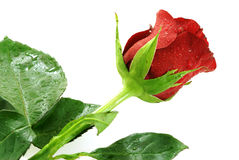 Il colore rosso piacevole singolo è aumentato con le goccioline Fotografia Stock