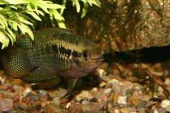 Il colore rosso punteggia il cichlid (dorsigera di Laetacara) Fotografie Stock